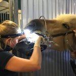 Tannsjekk på hest