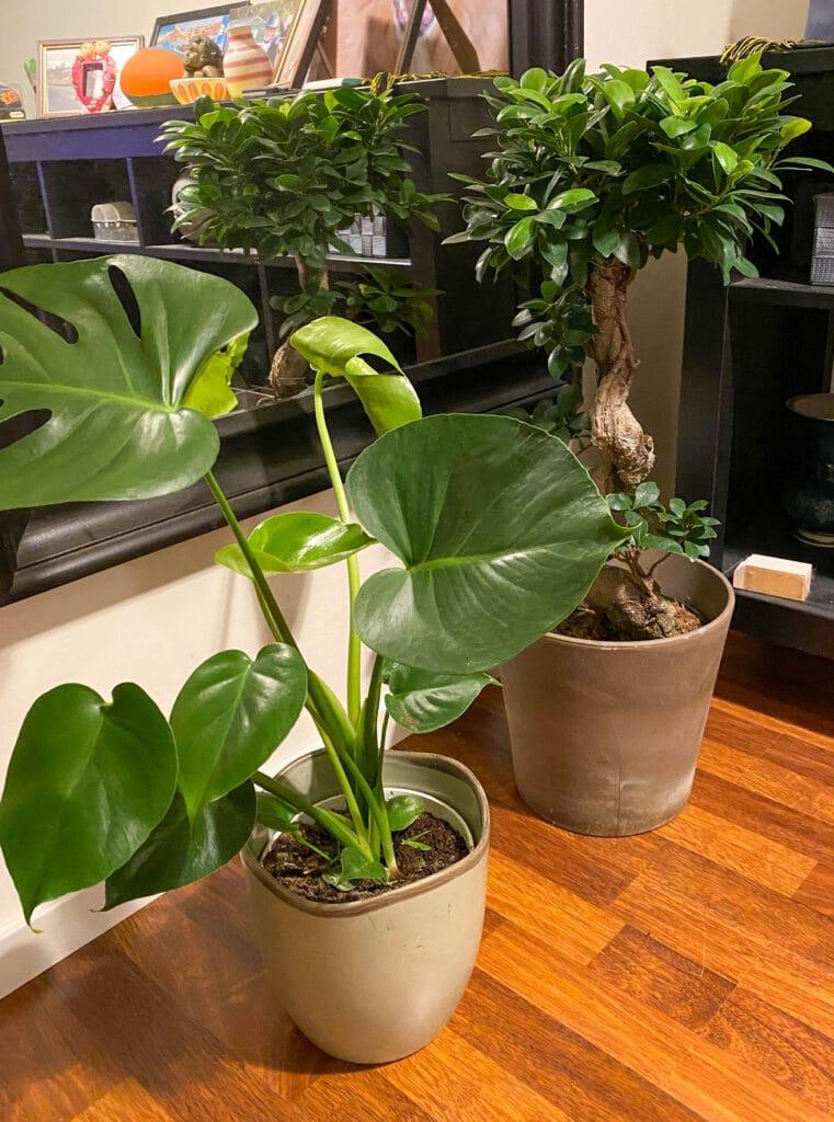 Grønne stueplanter - monstera og bonsai fiken