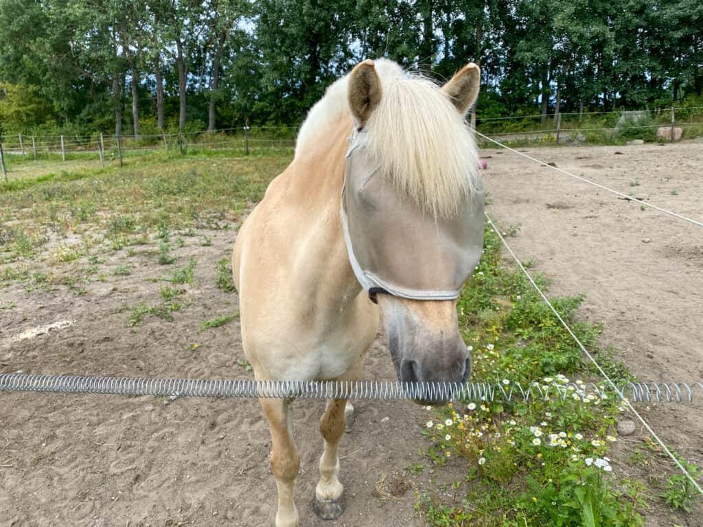 Fornøyd hest etter dagens ridetur